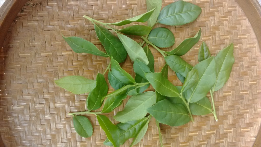Fresh Picked Ti Kuan Yin Leaves