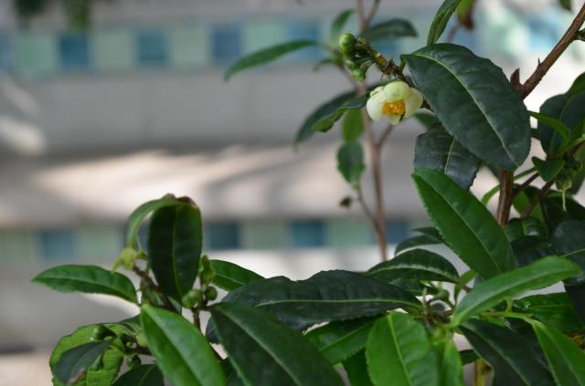 Blooming Camellia Sinensis Bush
