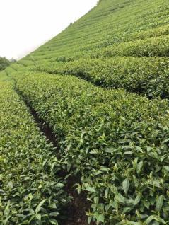 Alishan tea garden-1