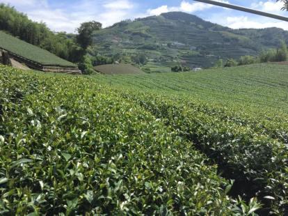Alishan tea garden-2