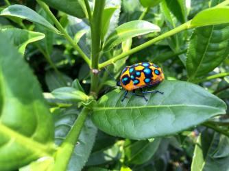 Bug on tea leaf-5
