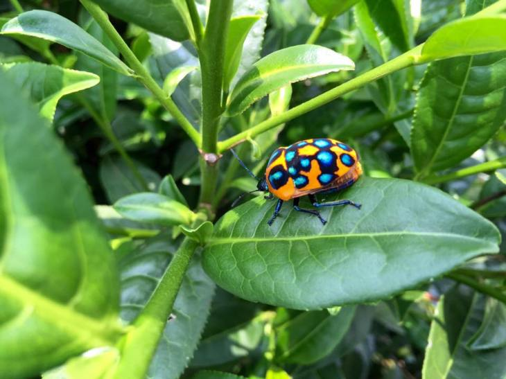 Bug on tea leaf-5