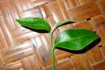 New leaf-2